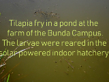 Tilapia fry in a pond at Bund Campus Farm